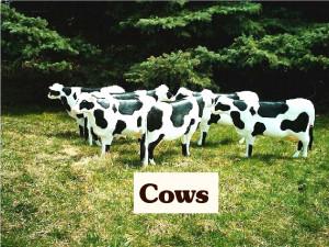 cowssphoto